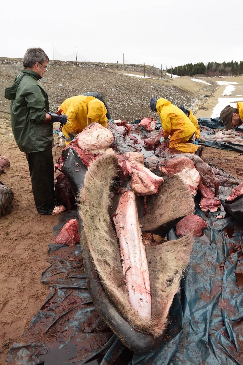 Des scientifiques étudiant la carcasse