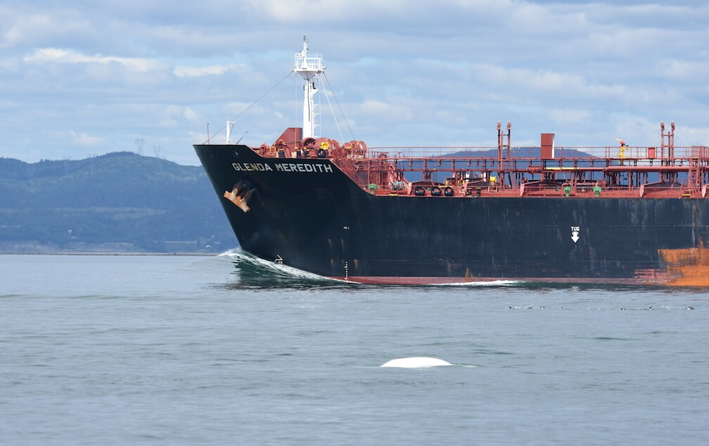 A beluga swims next to a tanker