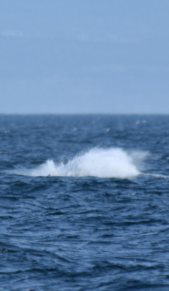 Lorsque la pectorale s'abat sur la surface, l'eau est propulsée dans les airs.