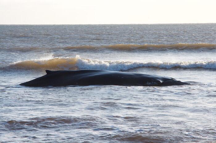 Un jeune rorqual s'est échoué vivant à L'Étang-du-Nord aux Iles-de-la-Madeleine.