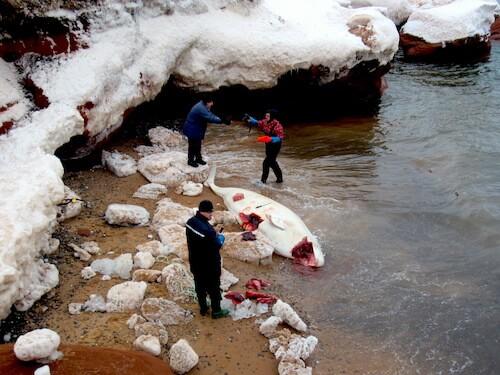 Samples were taken by Marine Mammal Emergencies volunteers for scientific research