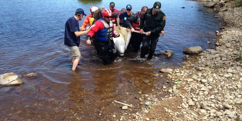 beluga whale beeing carried by rescuers