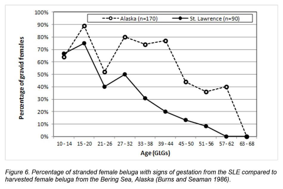 Graphique montrant que le nombre de femelles gestantes diminue avec leur âge (selon des spécimens échoués)