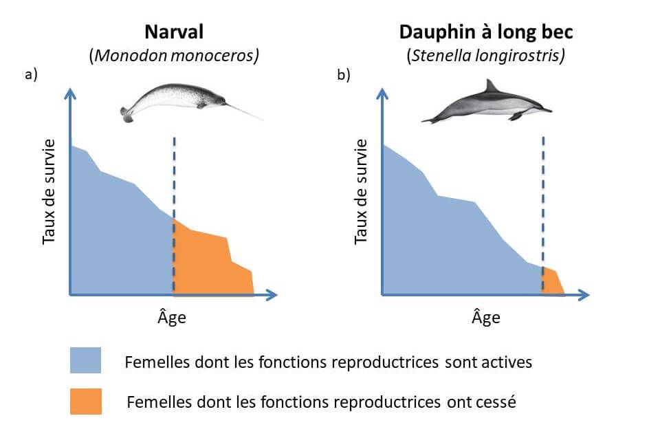 Females of species that experience menopause, such as the narwhal, live for many years after their reproductive system has stopped functioning.
