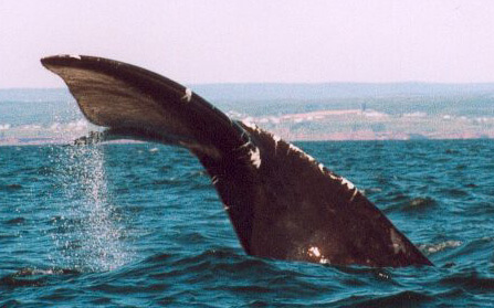 The right whale called Kleenex was photographed in 2002 in front of Gaspé, in the St. Lawrence gulf.