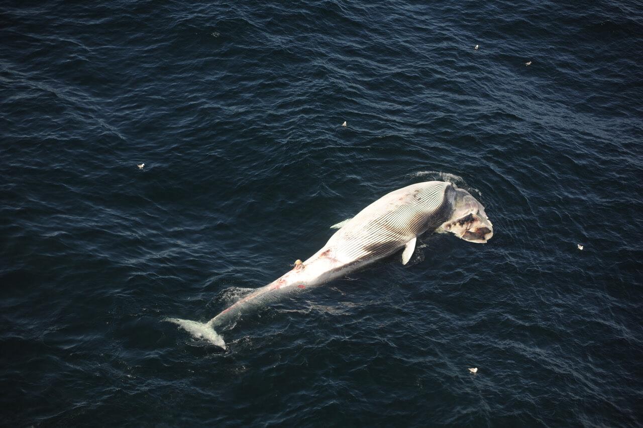 Carcasse de rorqual commun trouvé dans le même secteur que les carcasses de baleines noires