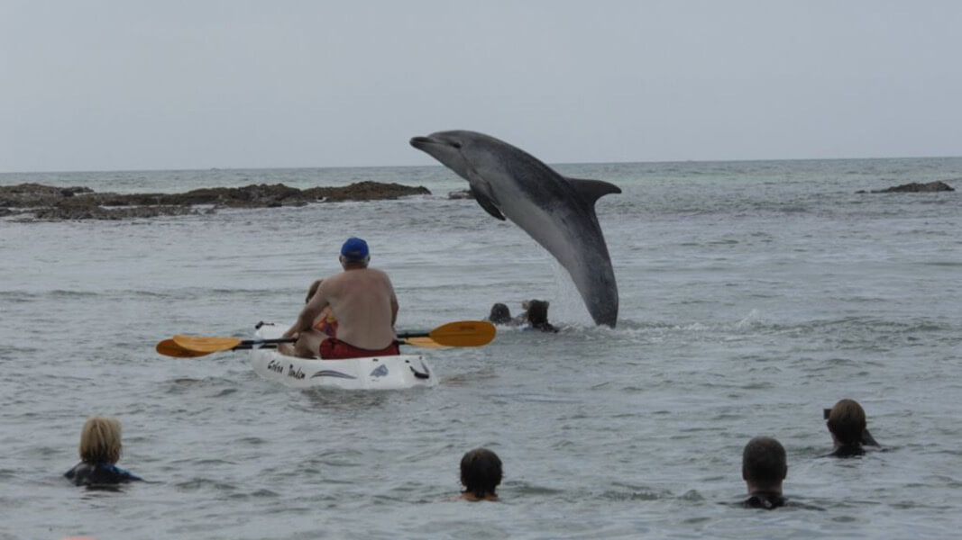 "The dolphin ""Moko"" breaches close to a kayak and some bathers."