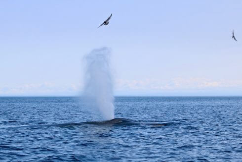 Un souffle de baleine projeté dans les airs.