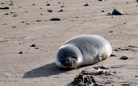 Young hooded seals are identified by their bluish coat and dark mask