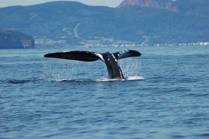 Nageoire caudale de la baleine noire nommée Panama
