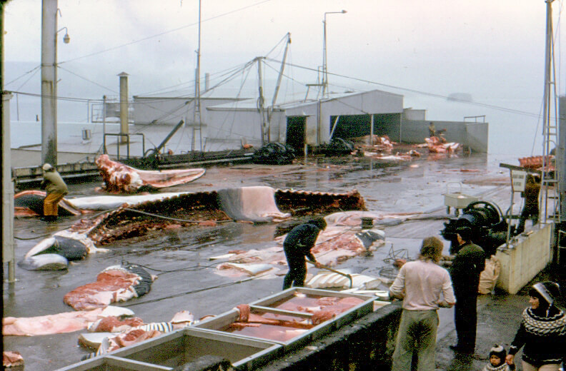 Preparation of whales in Iceland