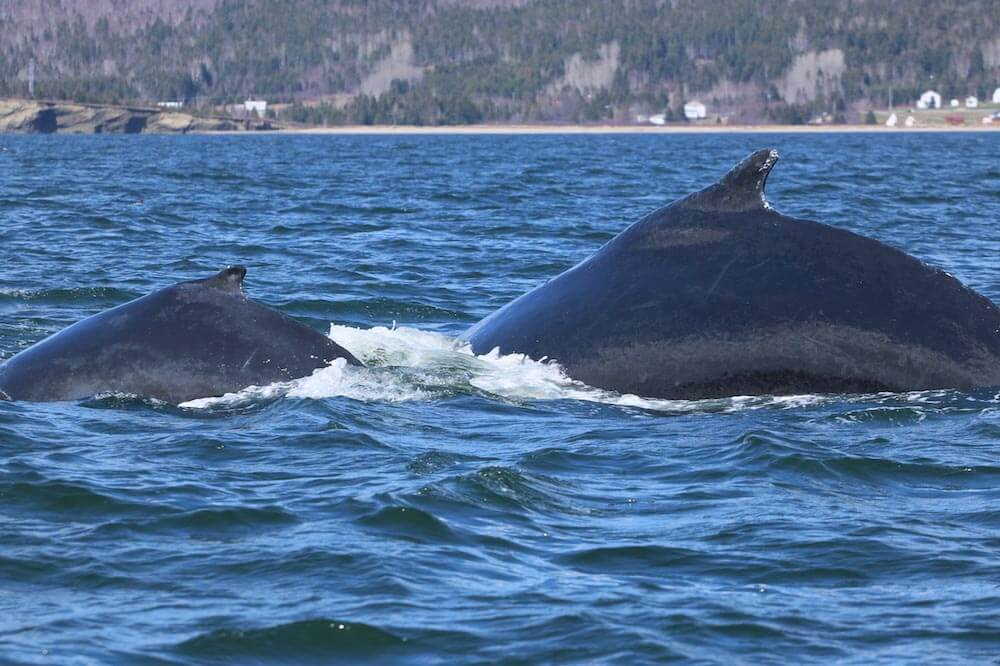 A humpback whale with a calf