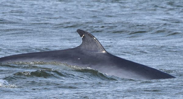 A minke whale with a scar on it's dorsal fin