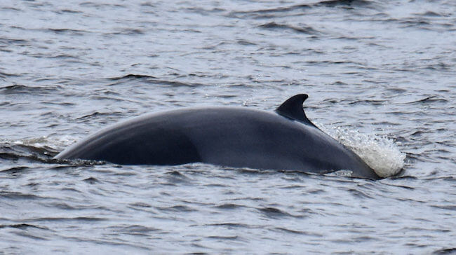 A minke whale and a calf