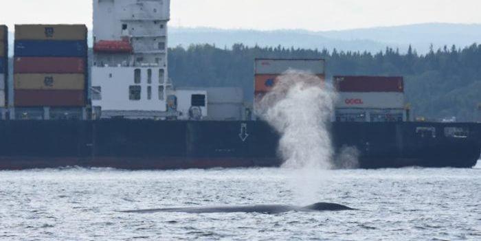 Soufflede baleine bleue devant un paquebot.