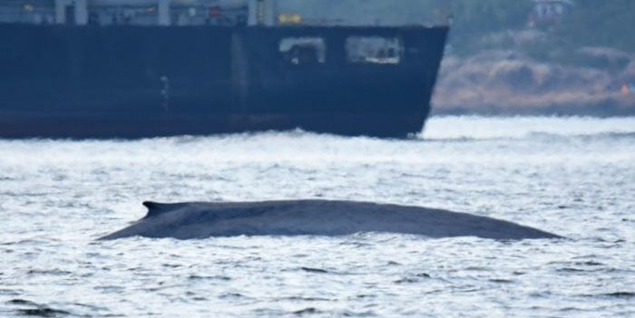 Dos de baleine bleue devant un paquebot.