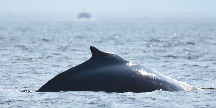 Nageoire dorsale de la baleine à bosse Siam.
