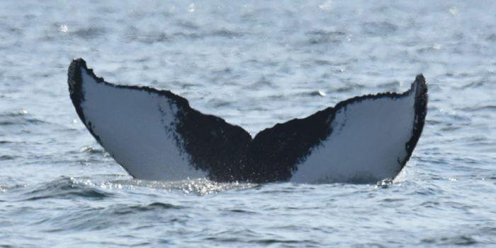 Queue de la baleine à bosse Siam.