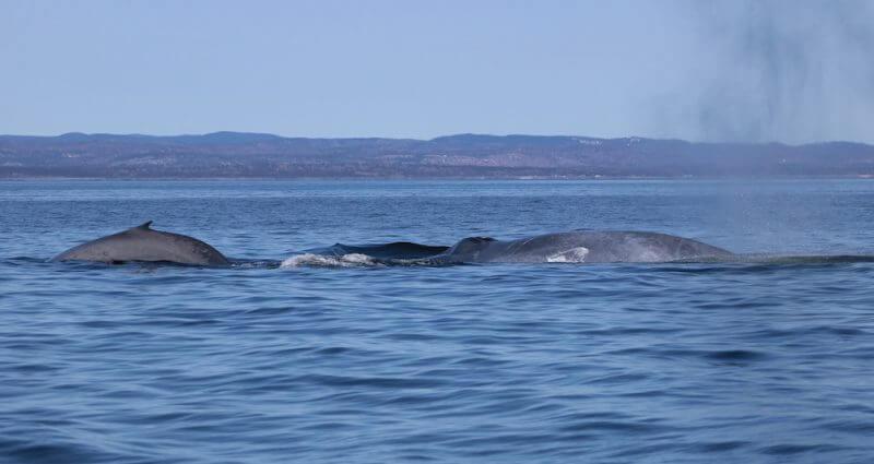 Un rorqual bleu avec son baleineau.