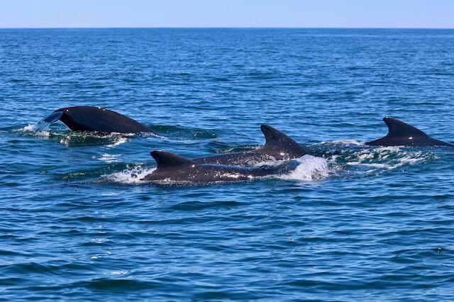 Groupe de globicéphales nageant près de la surface.