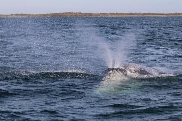 Une baleine grise.