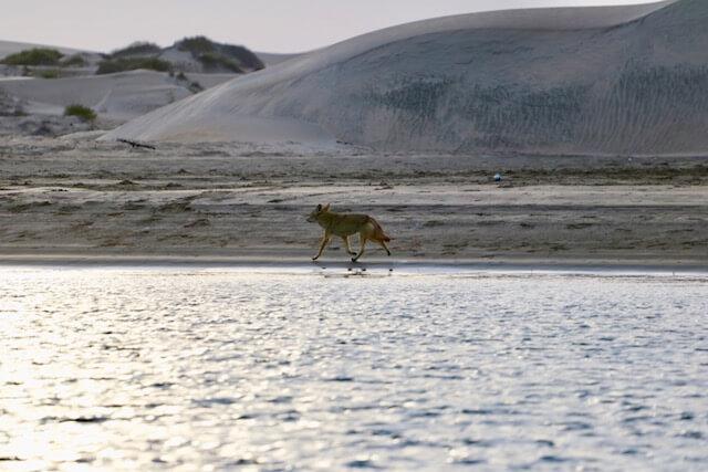 Un coyotte courant devant les dunes.