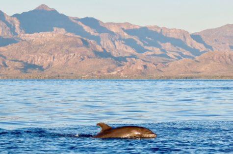Banc de grands dauphins