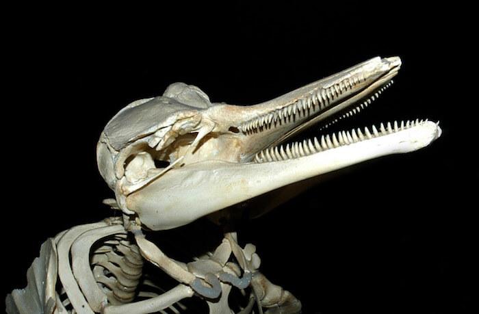 White-sided dolphin skeleton