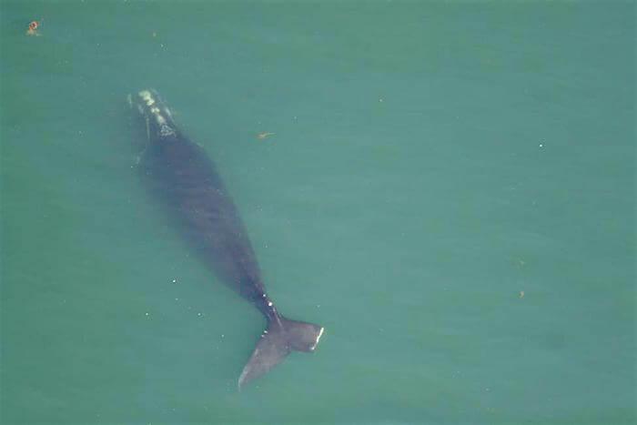 Starboard, une femelle de 11 ans, a été vue morte à la dérive le 21 juin, dans le golfe Saint-Laurent