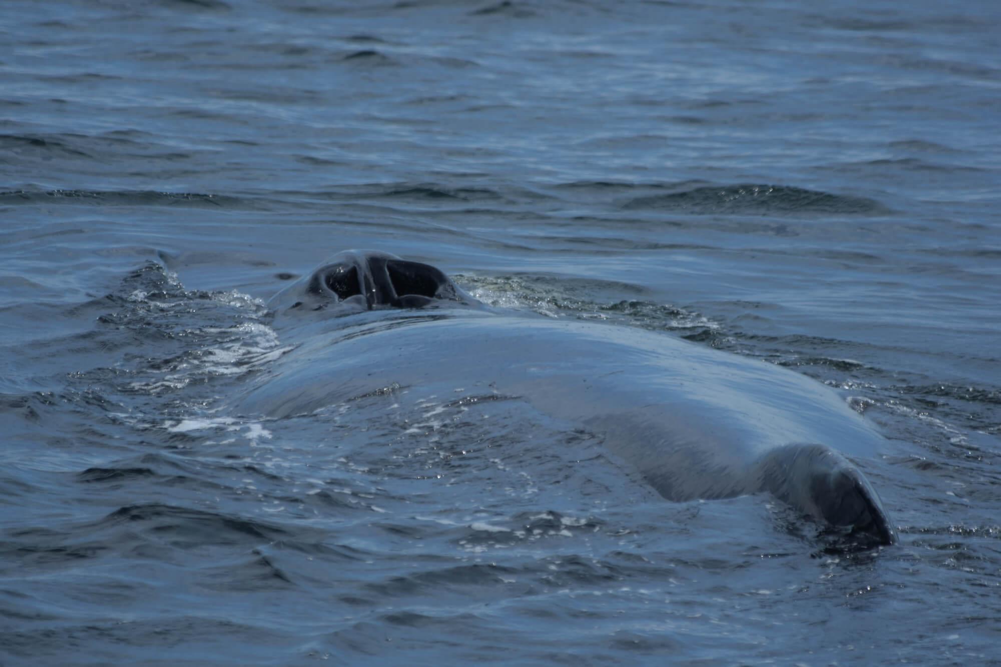 Les évents et la nageoire dorsale du rorqual à bosse Tic Tac Toe