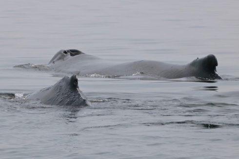 Les rorquals à bosse Tingley et son baleineau