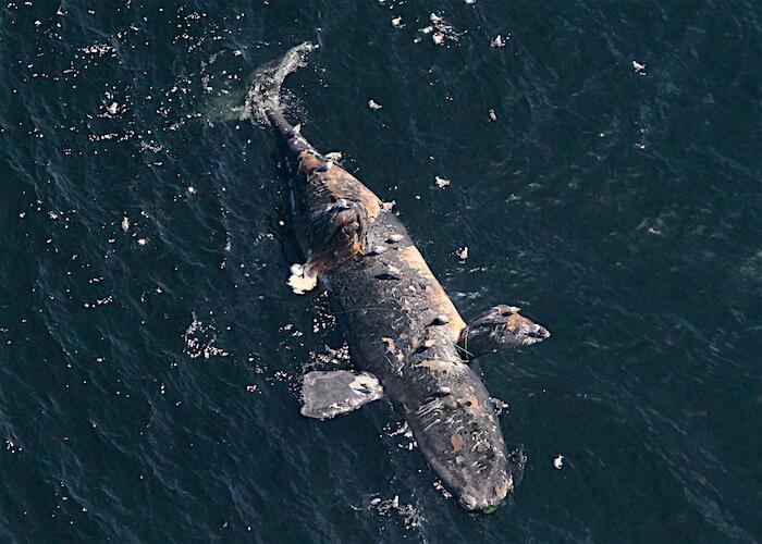Baleine noire à la dérive.