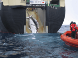 Des baleines se faisant remorquer à bord d'un navire de chasse.