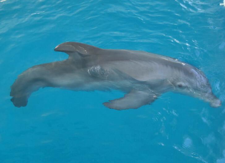 Image de Winter, un dauphin sans nageoire caudale
