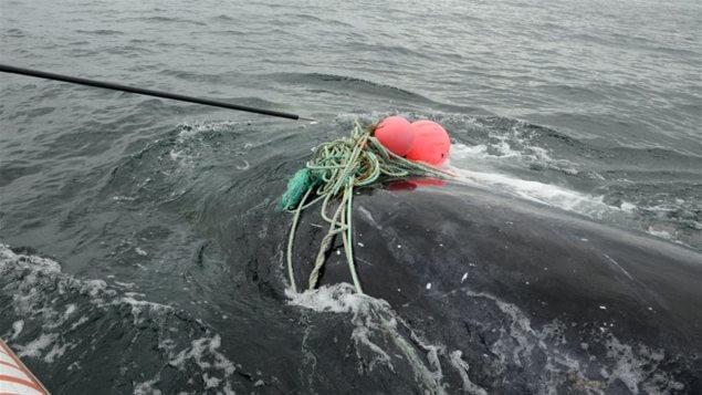 Baleine empêtrée