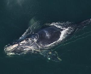 Baleine noire de l'Atlantique Nord, trainant du cordage avec elle.