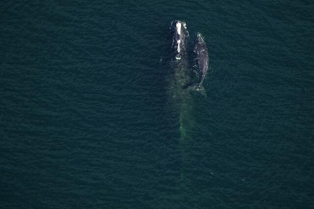 baleine noire avec veau