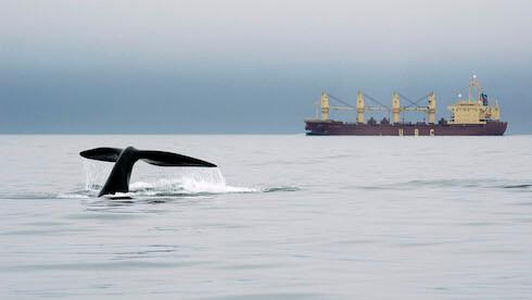 Une baleine noire dans la voie maritime.