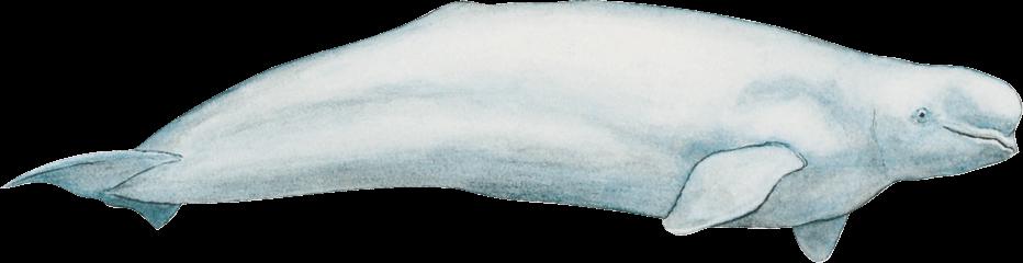 Image beluga