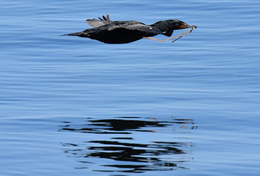Un cormoran à aigrettes transporte une brindille pour son nid
