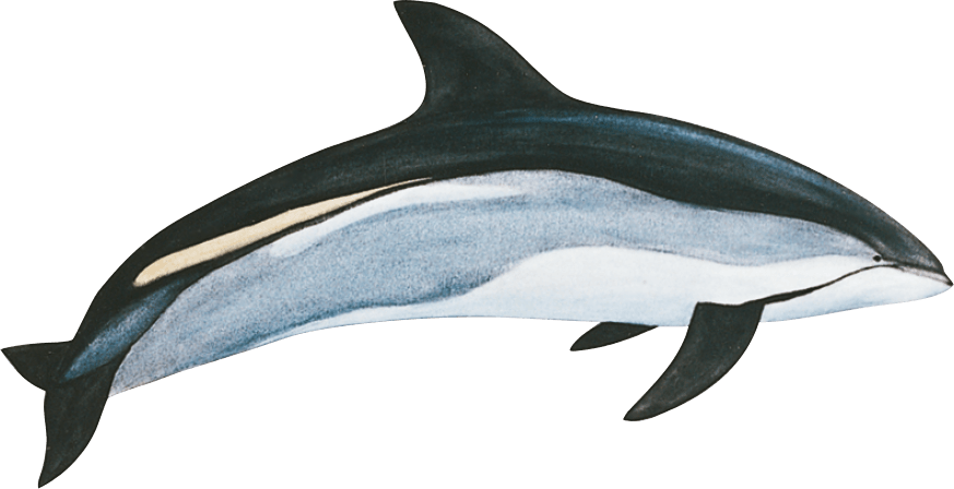 Image Atlantic white-sided dolphin