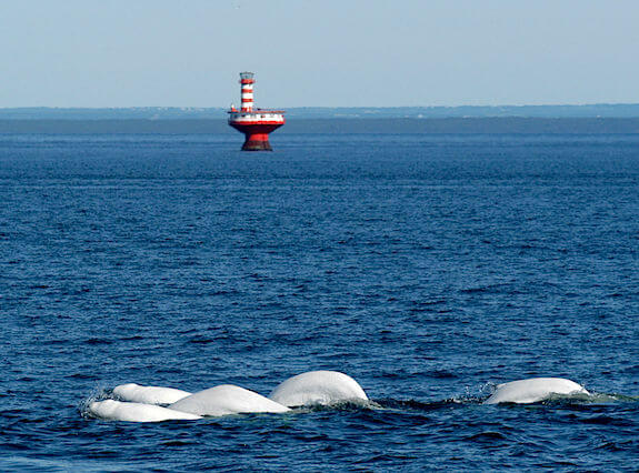 Belugas in the Tadoussac bay