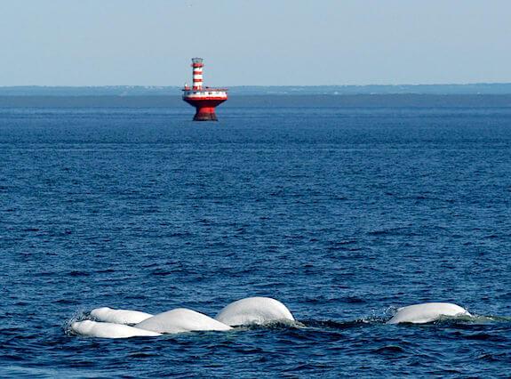 Groupe de béluga à l'embouchure du Saguenay