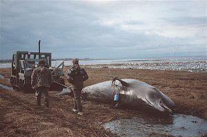 Baleine à bec échoué en 1994