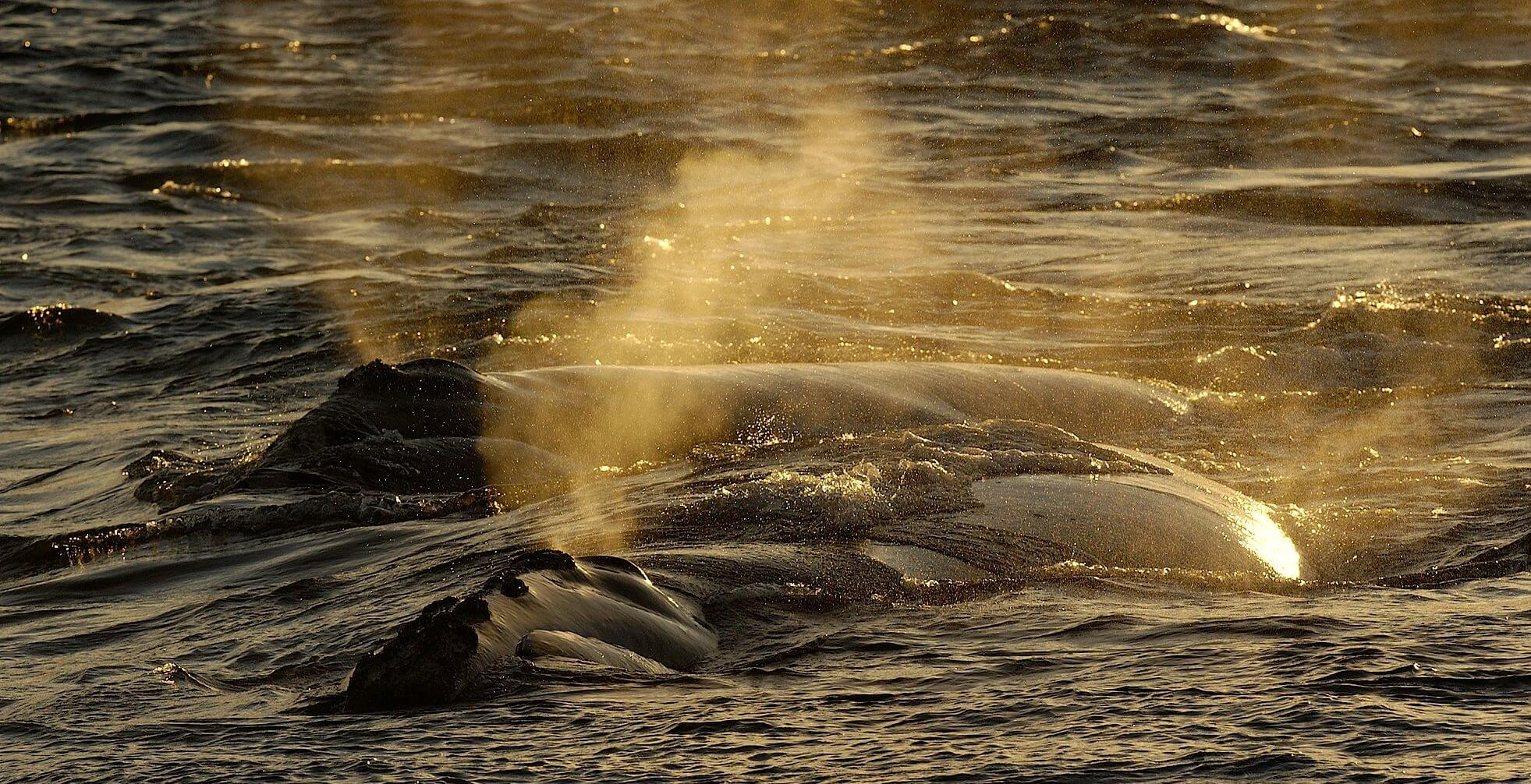 Right whale backs at sunset