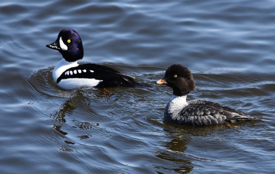 Un mâle et une femelle garrots d'Islande