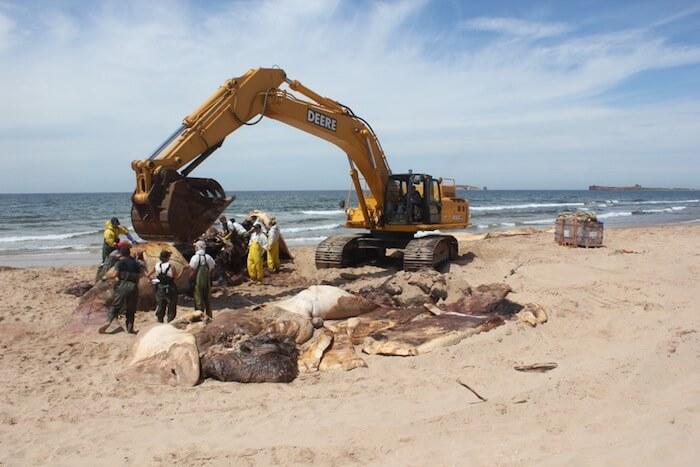 Carcasse de baleine noire sur la plage, déplacé par pelle mécanique