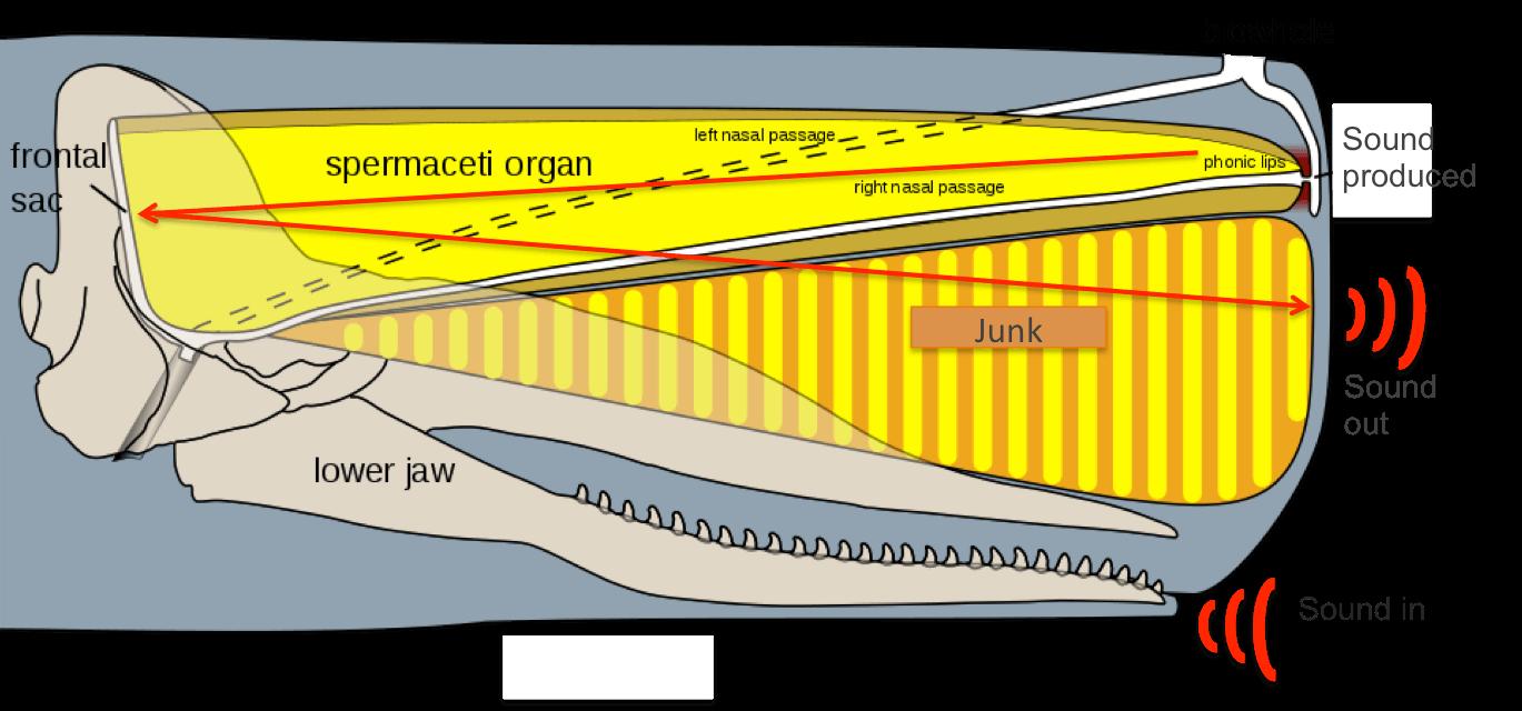 Schéma de la tête du cachalot macrocéphale.