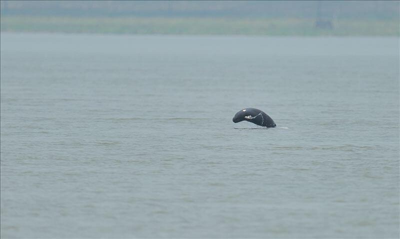 Un marsouin aptère photographié lors d'une activité d'observation cherchant à repérer un dauphin baiji