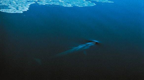 Blue whale © Jean Lemire